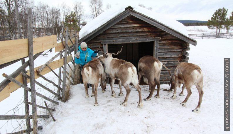 Alex assaillie par les rennes. Photo © André M. Winter
