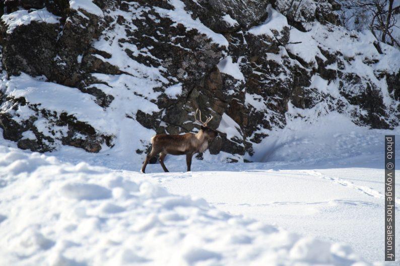 un renne au bord de la route. Photo © Alex Medwedeff