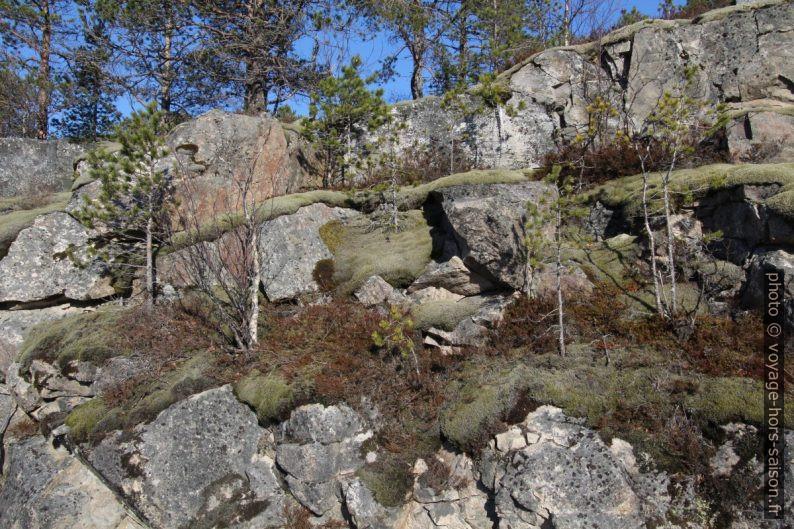 Des épineux miniatures et des mousses sur granit