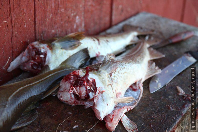 Morues de l'Atlantique décapitées pour les sécher