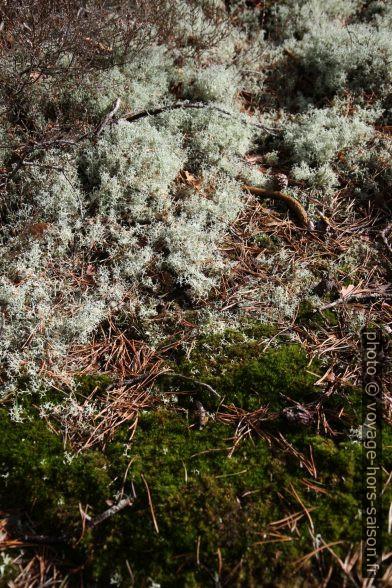 Mousses et lichens. Photo © Alex Medwedeff