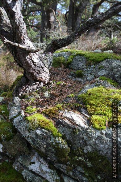 Pin et mousses sur un rocher. Photo © Alex Medwedeff