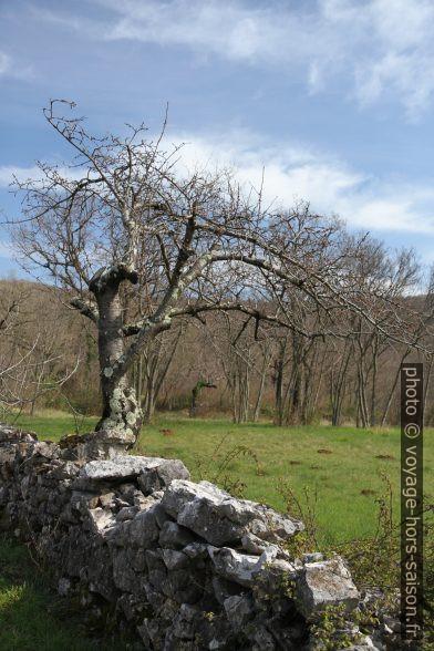 Cerisier et mur en pierre sèche. Photo © Alex Medwedeff