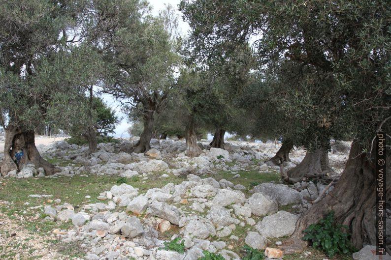 Des olivers entre des gros blocs de calcaire. Photo © Alex Medwedeff