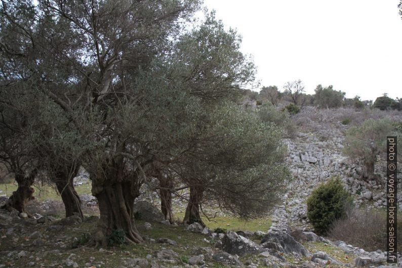 Vieux oliviers dans le Vallon de Čera. Photo © Alex Medwedeff