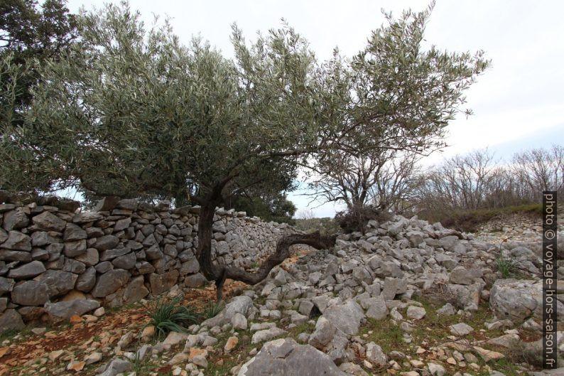 Murs en pierre sèche et olivier soutenu. Photo © André M. Winter