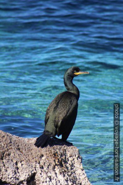 Cormoran huppé sur l'Adriatique. Photo © André M. Winter
