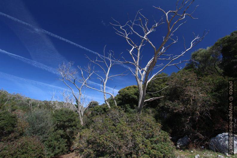 Squelettes d'arbres blancs. Photo © André M. Winter