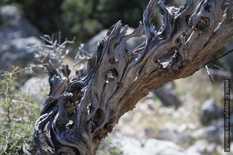 Vieux bois d'olivier. Photo © Alex Medwedeff