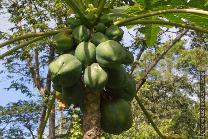 Papayer chargés de papayes vertes. Photo © André M. Winter