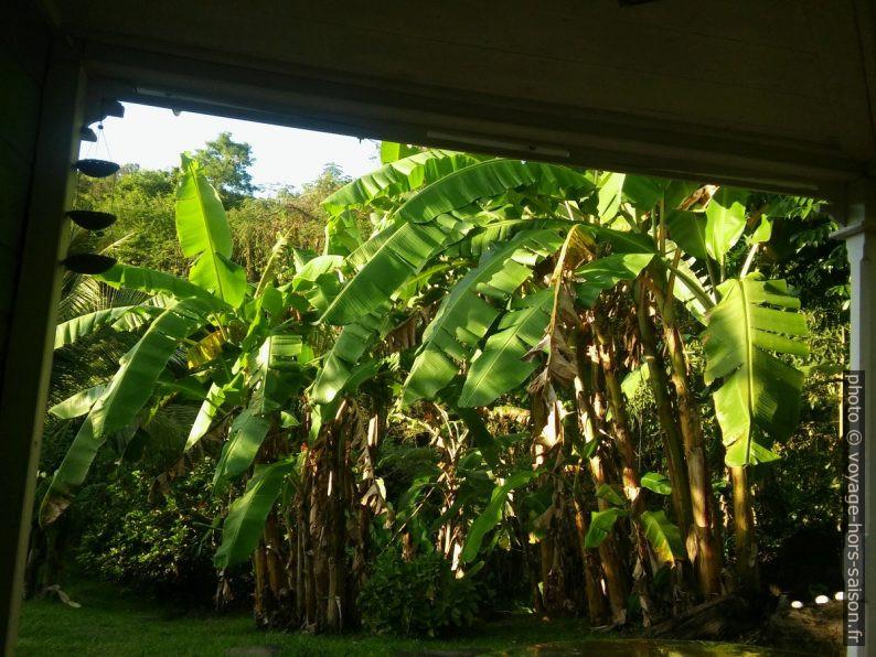 Bananiers du jardin vus de la terrasse. Photo © André M. Winter