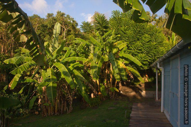 Bananiers du jardin. Photo © Alex Medwedeff