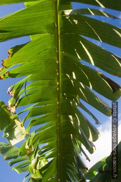 Feuille déchirée de bananier. Photo © Alex Medwedeff