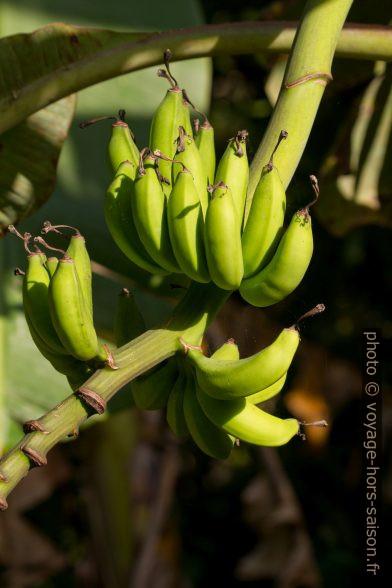 Bananes vertes sur leur tige. Photo © Alex Medwedeff