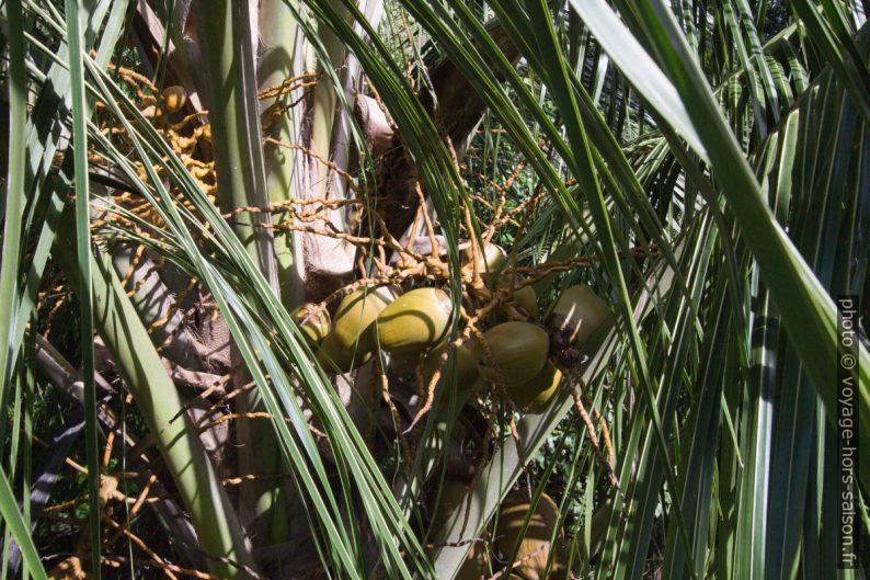 Cocos verts sur un cocotier. Photo © André M. Winter