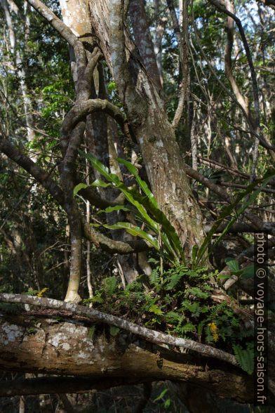 Racines aériennes et plantes épiphytes. Photo © Alex Medwedeff