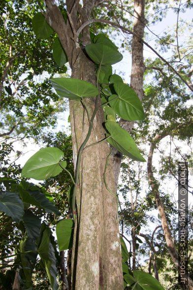 Plante grimpante. Photo © André M. Winter
