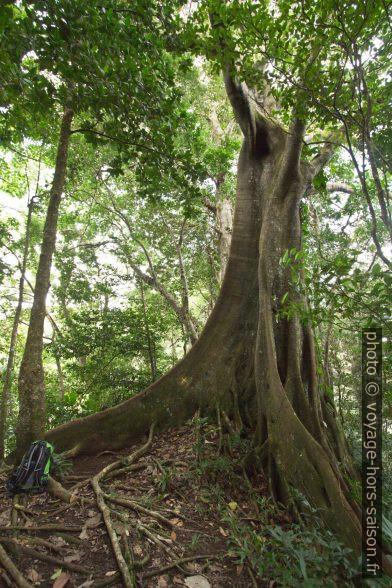 Acomat boucan et ces racines en contrefort. Photo © André M. Winter