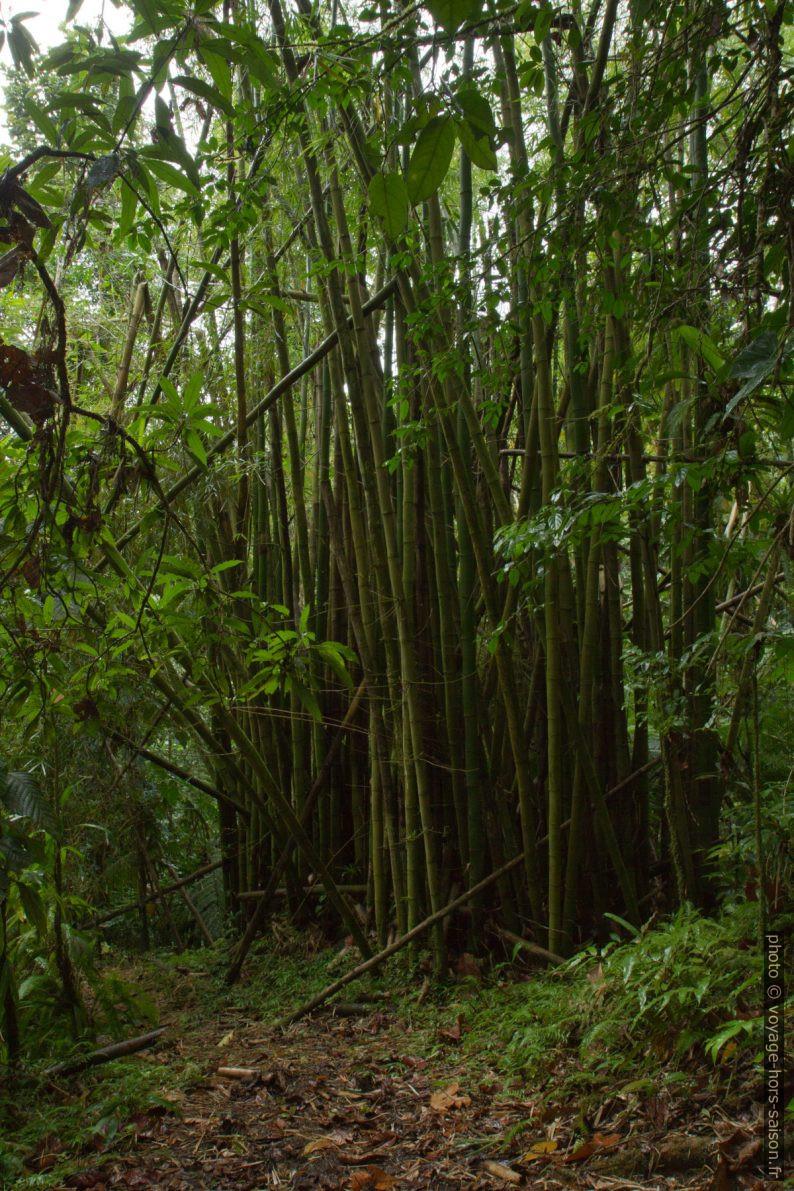 Forêt de bambous. Photo © Alex Medwedeff