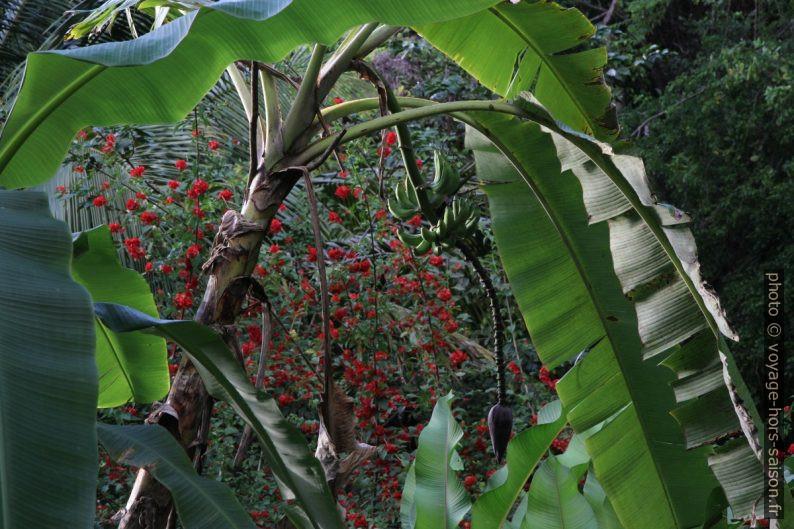Bananier et un buisson aux fleurs rouges. Photo © Alex Medwedeff