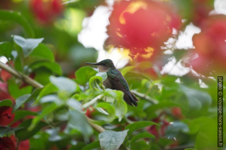 Colibri huppé au repos dans un buisson. Photo © André M. Winter