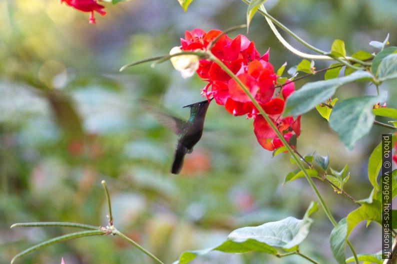 Colibri huppé butinant une fleur. Photo © André M. Winter