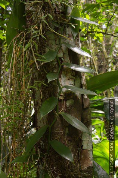 Vanille qui grimpe sur un tronc. Photo © Alex Medwedeff