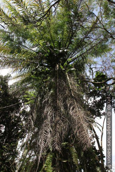 Palmier à huile. Photo © Alex Medwedeff