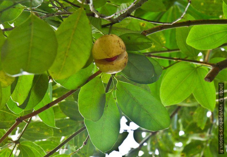 Fruit du muscadier sur l'arbre. Photo © Alex Medwedeff