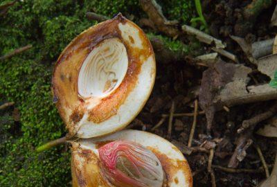 Fruit du muscadier montrant la noix de muscade. Photo © Alex Medwedeff