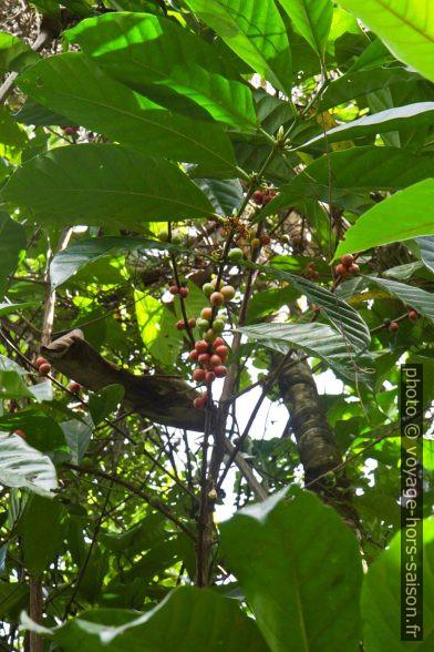 Cerises de café sur l'arbre. Photo © Alex Medwedeff