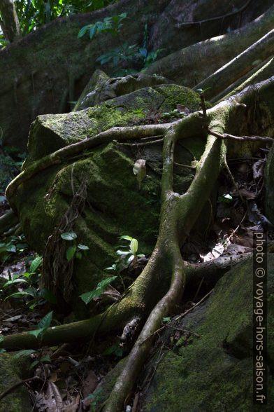 Racines passant par dessus un rocher. Photo © Alex Medwedeff