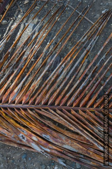 Feuille de palmier morte ayant un aspect rouillé. Photo © Alex Medwedeff