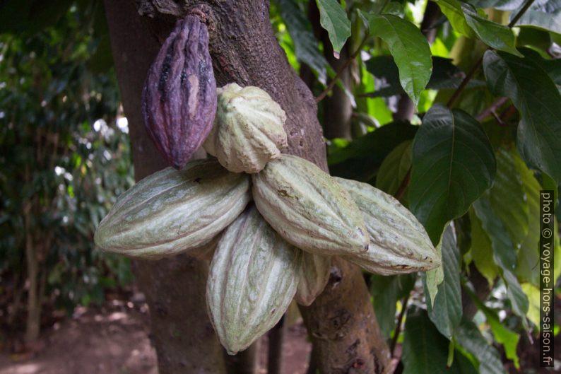 Cabosses sur un cacaoyer. Photo © André M. Winter