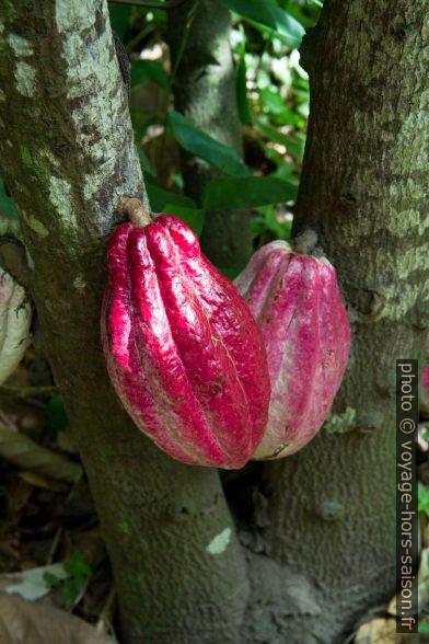 Deux cabosses rougeâtres sur un cacaoyer. Photo © Alex Medwedeff
