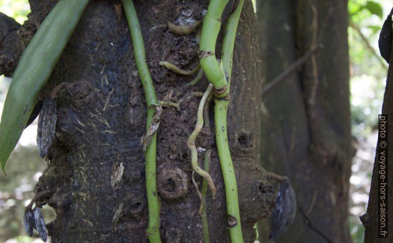 Tiges de vanille grimpant sur un tronc porteur. Photo © André M. Winter
