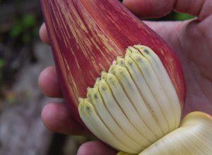 Inflorescence du bananier avec fleurs sous la spathe repliée. Photo © Alex Medwedeff