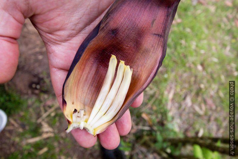 Spathe de l'inflorescence du bananier détachée et avec fleurs. Photo © André M. Winter