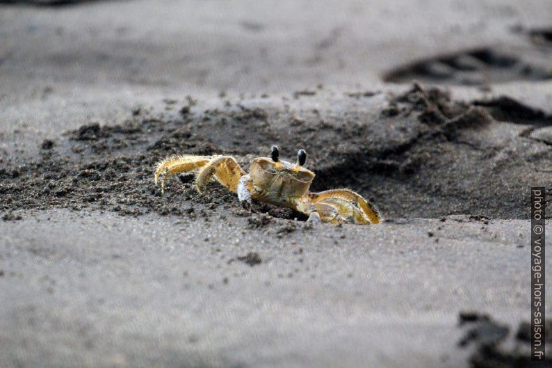 Crabe fantôme sur la plage de la Grande Anse. Photo © André M. Winter