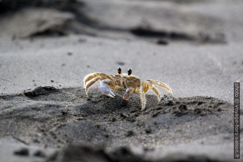 Crabe-fantôme a la Grande Anse de Capesterre. Photo © André M. Winter