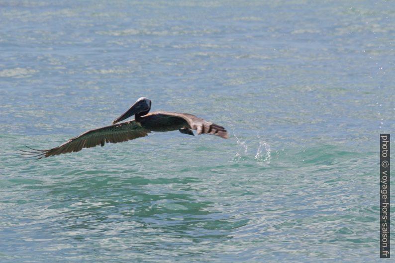 Pélican brun s'envolant à partir de l'eau. Photo © André M. Winter