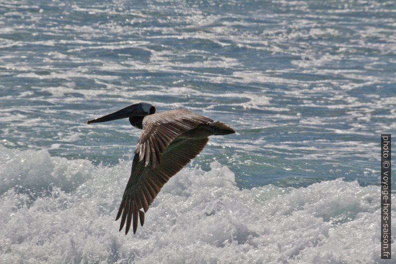 Pélican brun au-dessus d'une vague. Photo © André M. Winter