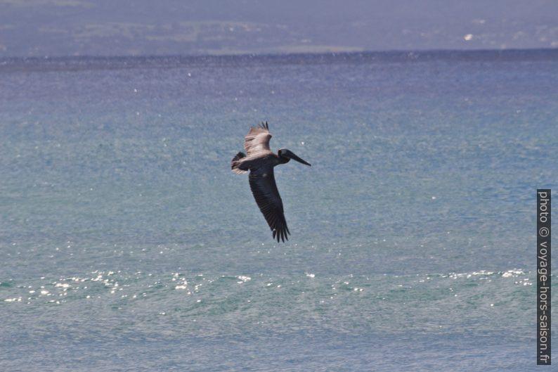 Pélican volant par dessus la surface de l'eau. Photo © André M. Winter