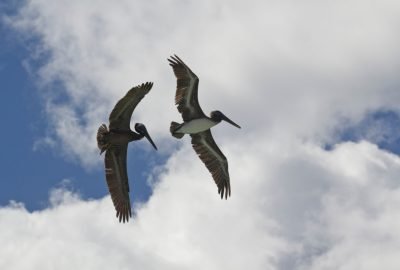 Deux pélicans bruns en vol montrant les deux faces de leurs ailes. Photo © André M. Winter