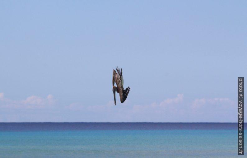 Un pélican brun plonge pour pêcher. Photo © André M. Winter