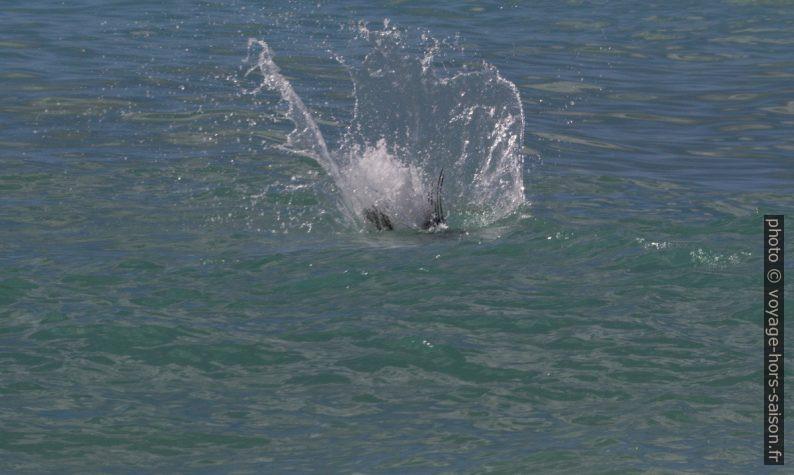Un pélican brun atteint l'eau après s'être lancé de 30 mètres d'hauteur. Photo © André M. Winter
