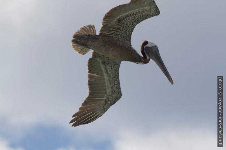 Un pélican brun plane au-dessus de nous. Photo © André M. Winter