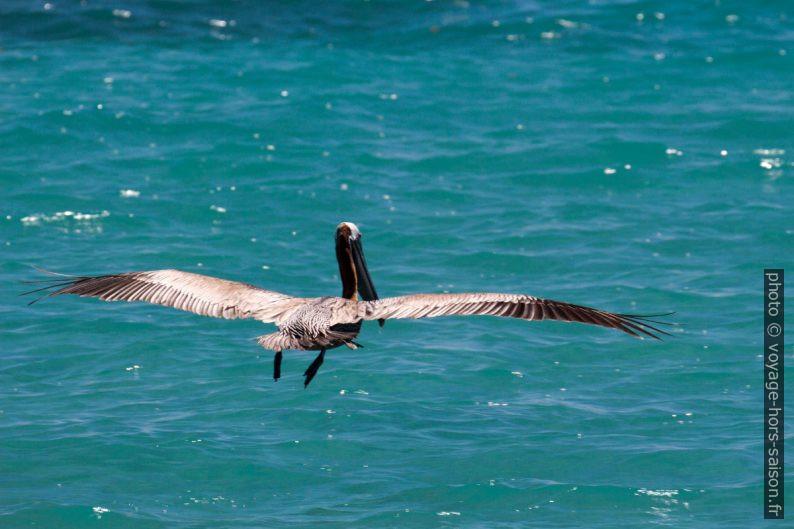 Un pélican brun amerrissant. Photo © André M. Winter