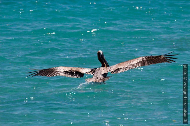 Un pélican brun plane pour amerrir. Photo © André M. Winter