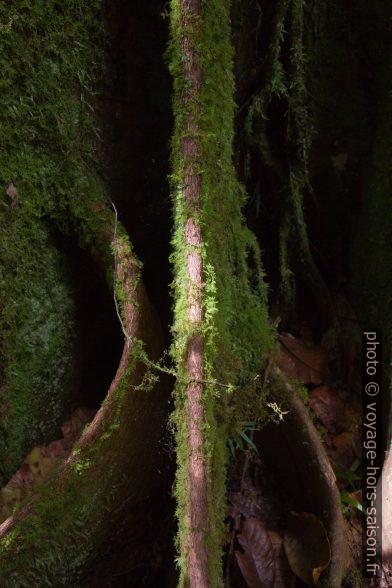Racines en contrefort d'un acomat boucan. Photo © Alex Medwedeff